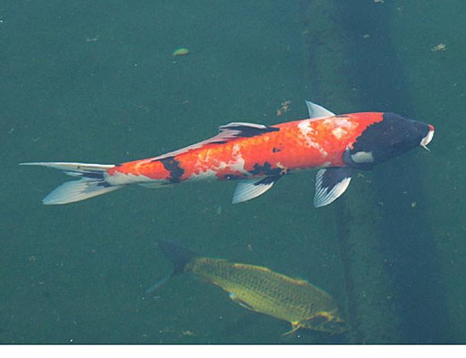 Dix millions de poissons dans un lac pour manger les for Manger pour poisson