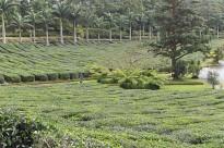 Culture du thé au domaine des Aubinaux