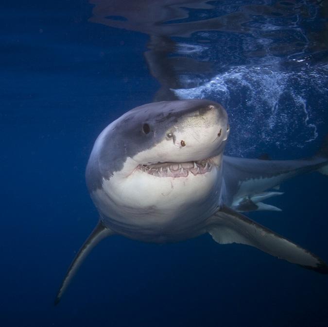 Requin blanc-©iStockPhoto